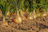 Тюменским дачникам рассказали, как выбирать лук и чеснок для посадки