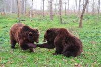 Бурые медведи начали выбираться из своих берлог после продолжительной зимы с приходом потепления.