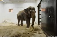 На новом месте слониха Дженни отказывается от морковки, а вот сено охотно ест.