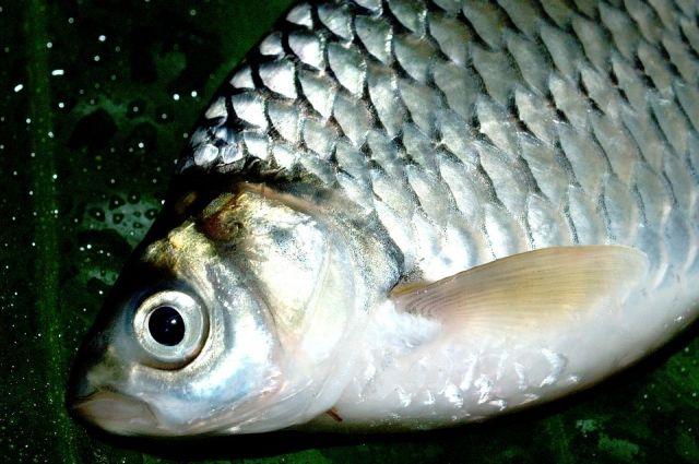 Специалисты установили причину массовой гибели рыбы в поселке Краснооктябрьском.