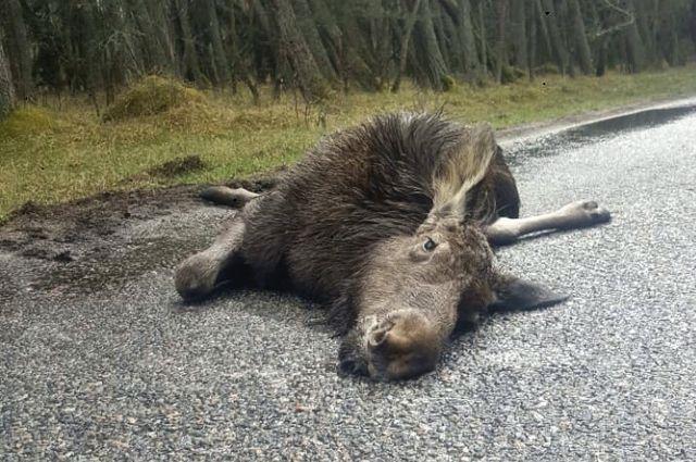 На Куршской косе от удара автомобилем погиб лось