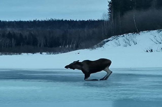 Добравшись кое-как до берега, лось припустил, что было силы.