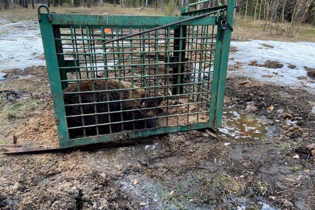 Медведя нашли в маленькой клетке.