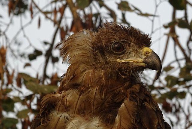 Сотрудники Центра реабилитации диких животных в Новосибирске выпустили на волю коршунов. Это птицы, которые не смогли перебраться в теплые края и остались зимовать в Сибири.