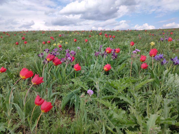 На цветение степных тюльпанов приехали больше 10 тысяч человек