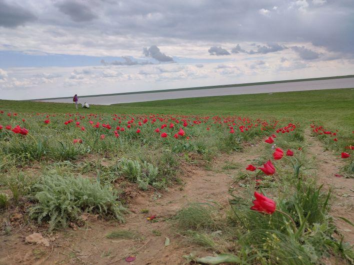 Самый популярный вот уже несколько лет садовый сорт тюльпанов – «Парад»