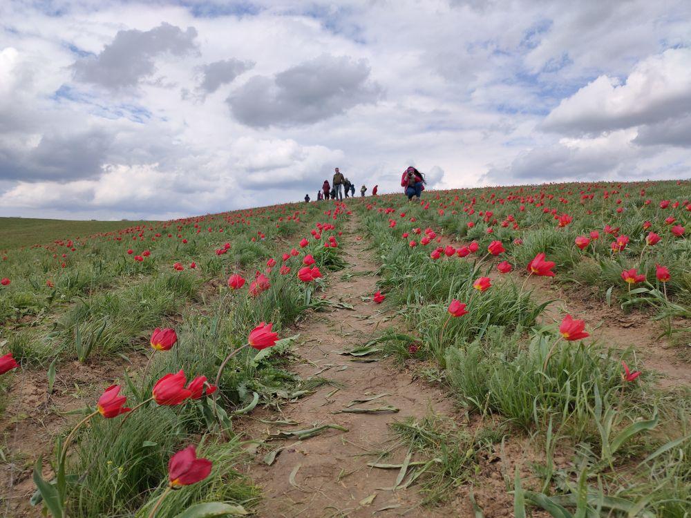 Два самых популярных степных тюльпана - Шренка и Биберштейна