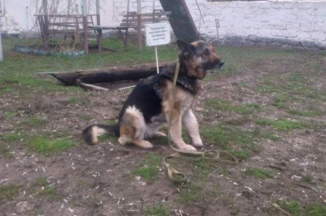 Для служебной овчарки по кличке Уральская сказка из ИК Оренбурга нашли нового хозяина.