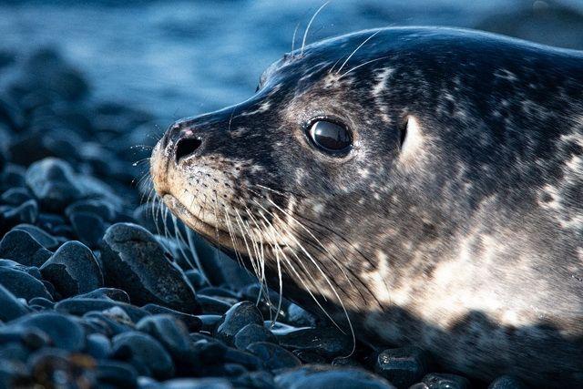 На Камчатке в Командорском заповеднике исследуют тюленя-цветка