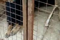Свору трусливых бродячих собак, напавших на ребёнка, возглавляла домашняя собака. Её хозяина ищут.