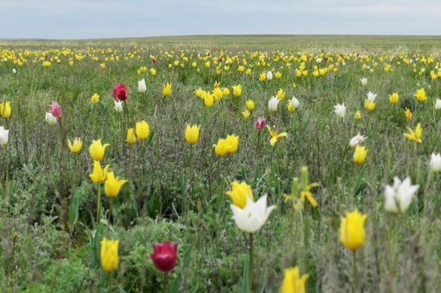 В оренбургских степях зацвели тюльпаны Шренка.