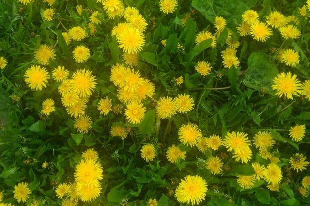 Дачники обязаны очищать свои участки от таких растений, чтобы предотвратить их распространение. За бездействие предусмотрен штраф в размере 300–500 рублей.
