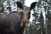 Большинство ДТП с дикими животными происходит ночью или рано утром.