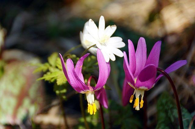 Любоваться красотой растения конца апреля до первой половины мая.