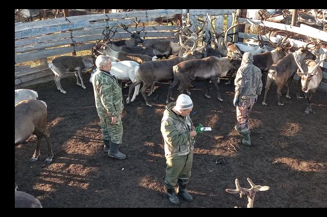 Ямальские ученые изучат перемещение и питание оленей
