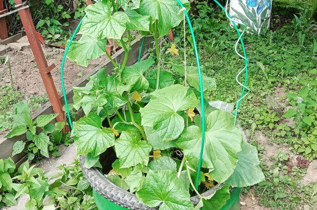 Зеленцы — в бочку! Куда высадить огурцы, если места на огороде не хватает