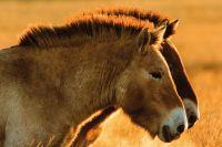 В Оренбуржье лошади Пржевальского обзавелись потомством.