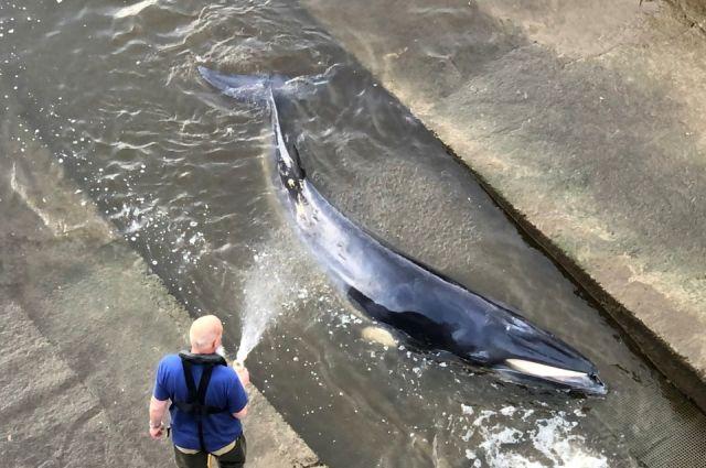 Спасательная операция по вызволению застрявшего на мели в Темзе кита