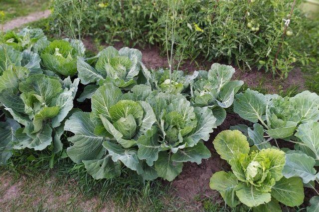 Растения отблагодарят за хороший уход урожаем.