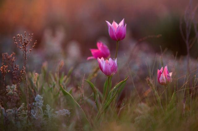 В Оренбургской области с наступлением мая начинается цветение тюльпанов, затем сон-травы и горицвета..