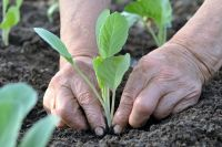Переросшую капустную рассаду сажать нужно поглубже.