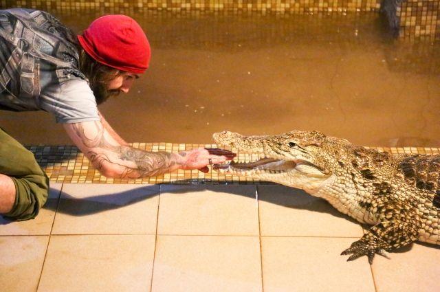 Напряжённые лапы, подтянутый живот и раздутое горло – признаки того, что крокодил готовится к атаке.