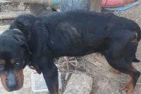 Собака много месяцев сидела на цепи.