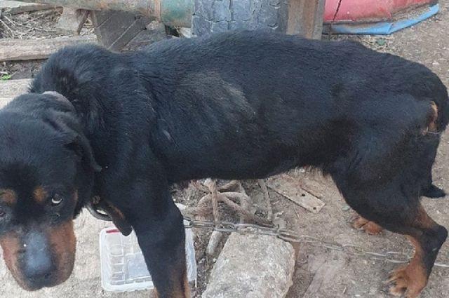 Зоозащитники показали собаку врачу. Оказалось, у животного 4 степень истощения.