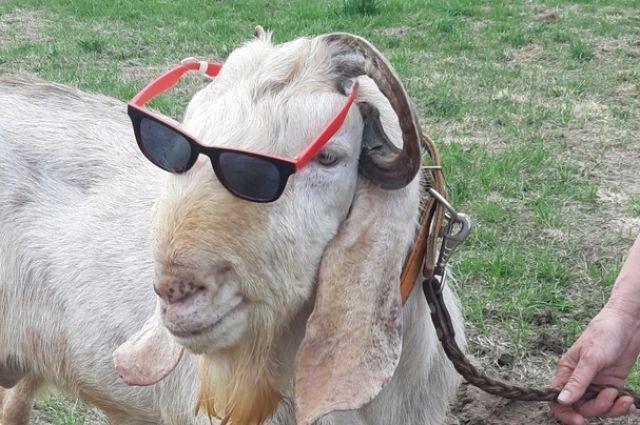 В Удмуртии выбрали самую красивую козу