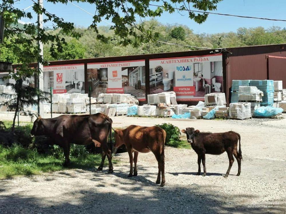 Коровы на центральном шоссе Абхазии - привычное дело. Иногда даже лежат, нежатся на горячем асфальте.