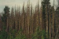 Новосибирская область не готова к нашествию вредителя. В некоторых районах необходимость борьбы с бабочкой уже назрела, однако в этом году регион не располагает средствами для проведения обработок лесов против шелкопряда.