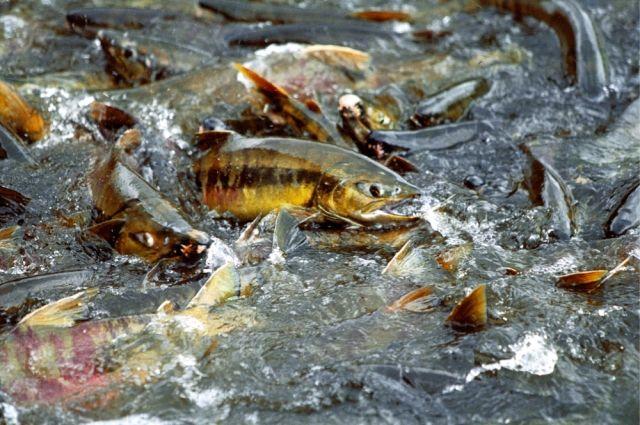 Во время нереста вода в реке «закипает» от огромного количества рыбы.  Река Рейдовая. Остров Итуруп. Сахалинская область.