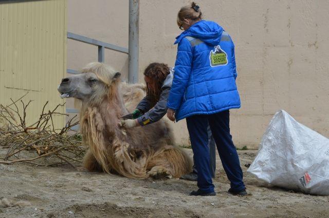 Стрижка верблюдов – трудоёмкий и ответственный процесс.