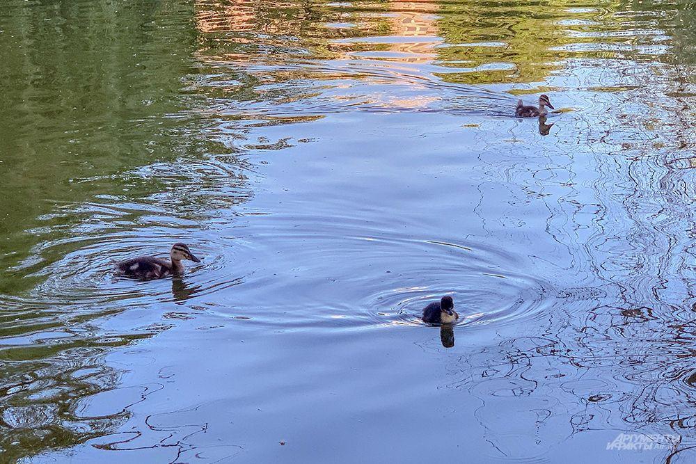 В пруду плавает много утят.