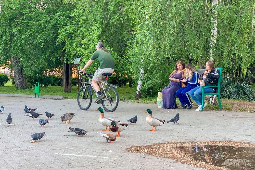 Утки не боятся людей и спокойно выходят на берег.