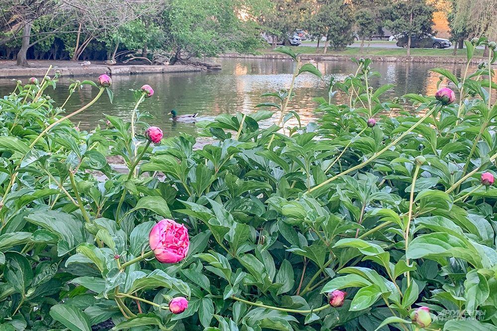 Пионы у пруда в Городском саду.