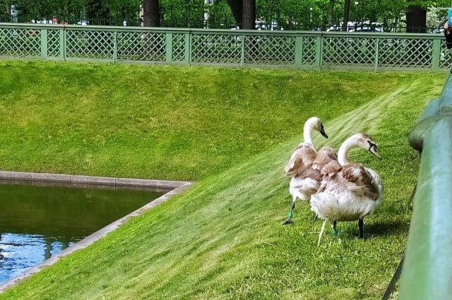 Подходить близко к лебедям не рекомендуется.