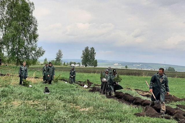 18 мая в Кемеровской области началась высадка 30 тысяч сибирских кедров.