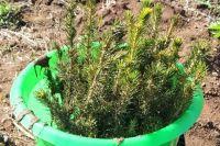 Трехлетним сеянцам нужно еще восемь-десять лет, чтобы стать полноценными деревьями.