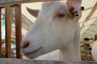 Зааненские козы  - самые распространённые на Ставрополье.