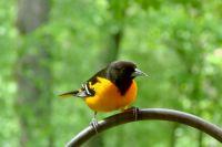 У самцов желтое оперение, а окрас самки чаще всего бывает зеленоватым.