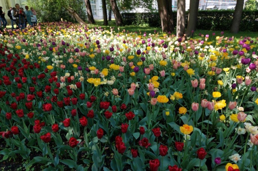 Тюльпаны в Россию привез Петр I.