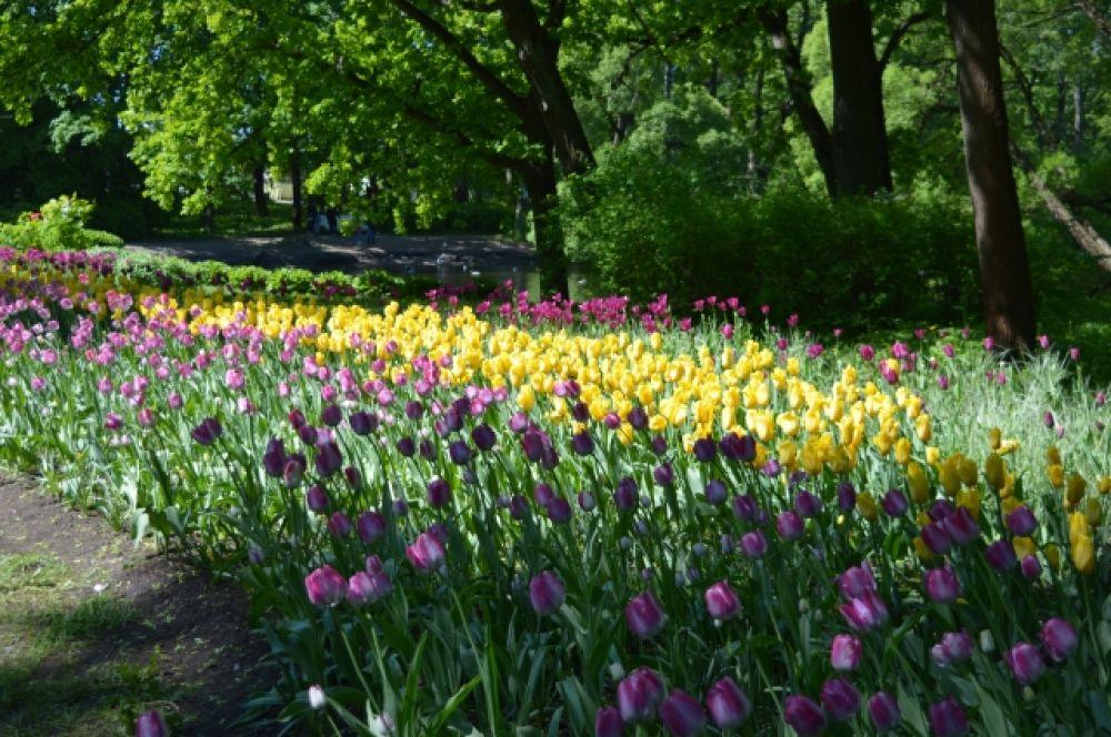 Родиной тюльпанов считается север Ирана.