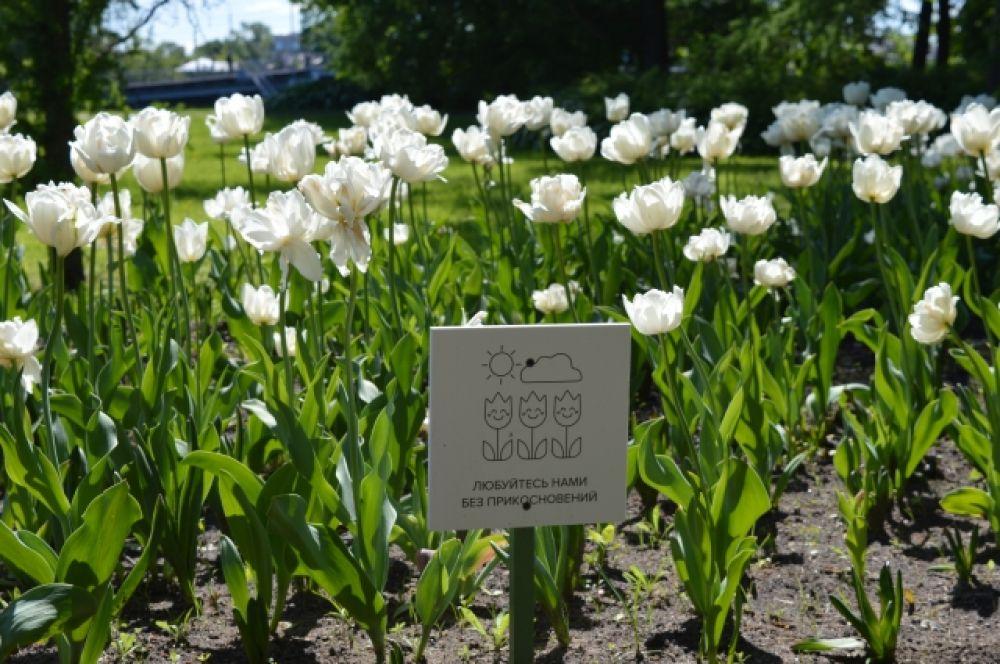 В некоторых странах луковицы тюльпанов употребляют в пищу.