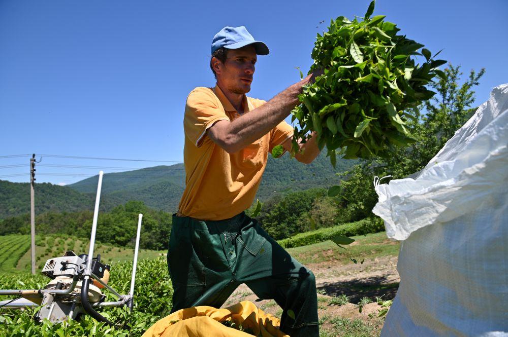 Сбор чая на плантациях