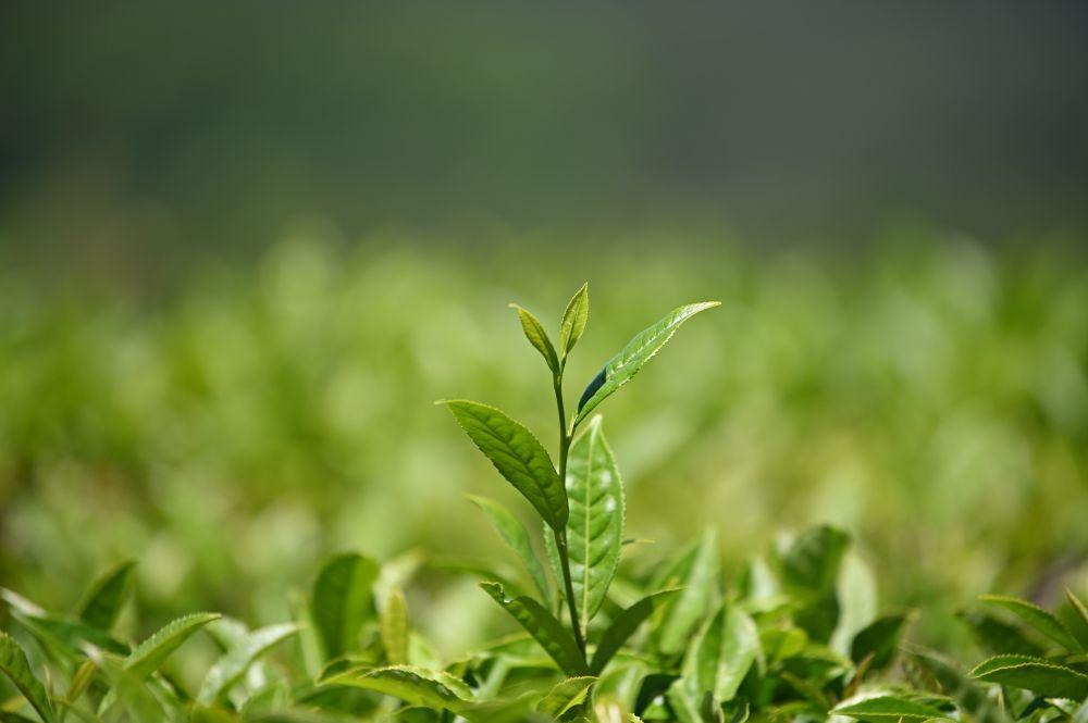 Чайный флеш на плантациях