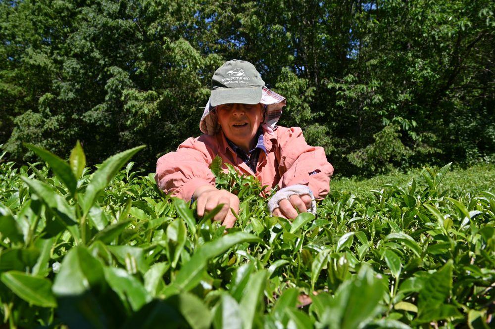 Ручной сбор чая на плантациях