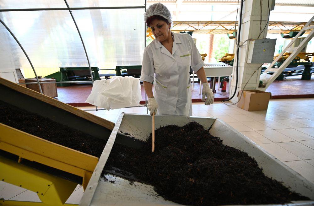 Сотрудник Мацестинской чайной фабрики контролирует сортировку чая