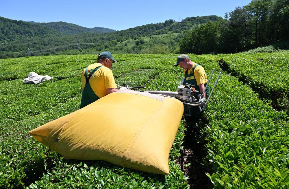 Механизированный сбор чая на плантациях
