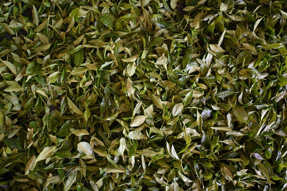 Завяливание чайного листа при производстве черного чая в цехе первичной переработки на Мацестинской чайной фабрике